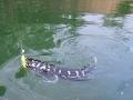 giant_snakehead_topwater_lure
