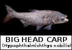 Mega Fishing Thailand fish species identification page Big Head Carp Hypophthalmichthys nobilis scientific picture