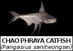 Chao Phraya catfish species page title graphic image