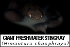 Thailand fish species information and Taxonomy for Giant Freshwater Stingray image