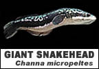 Snakehead fish species Giant snakehead Channa micropeltes image title