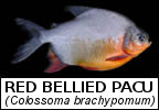Fish species that have been introduced to Thailand the Pacu