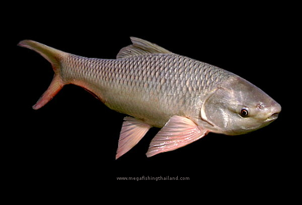 Mega Fishing Thailand fish species Taxonomy Rohu, Indian Carp scientific picture