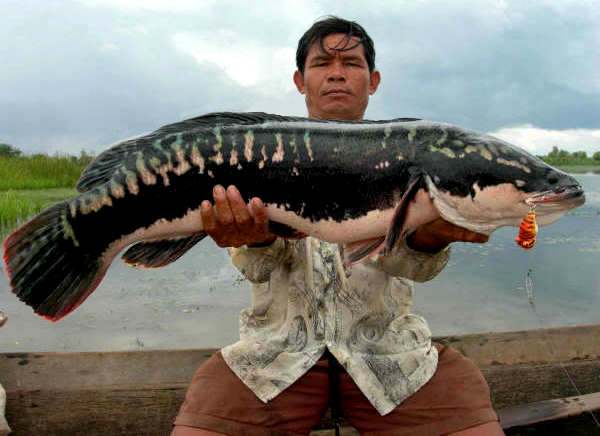 Photo of Giant snakehead (Channa micropeltes) caught fishing in Thailand