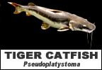 Fish species introduced to Thailand the Tiger Catfish or Sorubim Pseudoplatystoma tigrinum