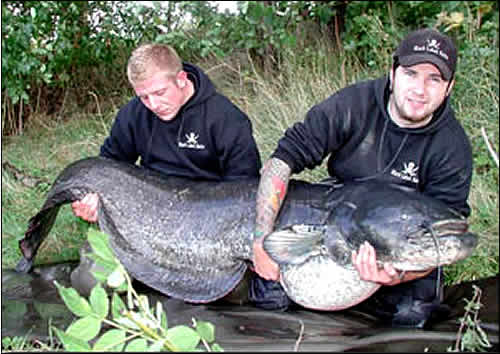 The Biggest Fish Ever Caught in Germany.This 84.7kg (177lb), 247cm Catfish is the biggest fish ever caught in Germany. It may be the biggest ever caught in Northern Europe.Was Caught on a MANGO lure. :The Black magic