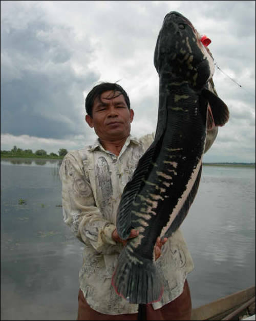 Photo of largest Thai Giant snakehead caught