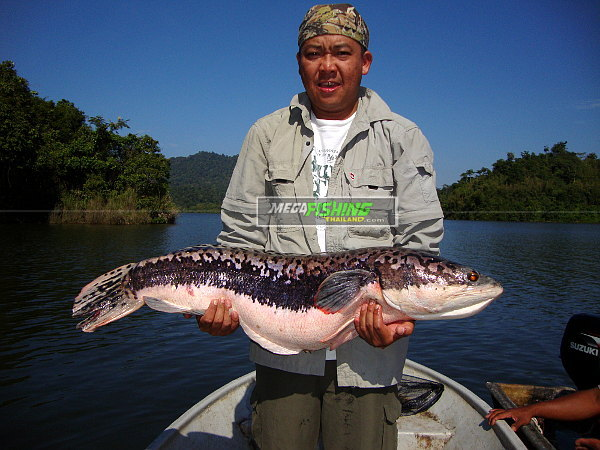 Photo of Malaysian Toman is full spawning colours
