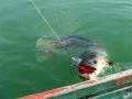 snakehead_fishing_chiang_mai_42