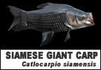 Giant Siamese Carp Information page header image link