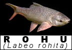 Fish species Identification Taxonomy Rohu Labeo rohita Indian carp